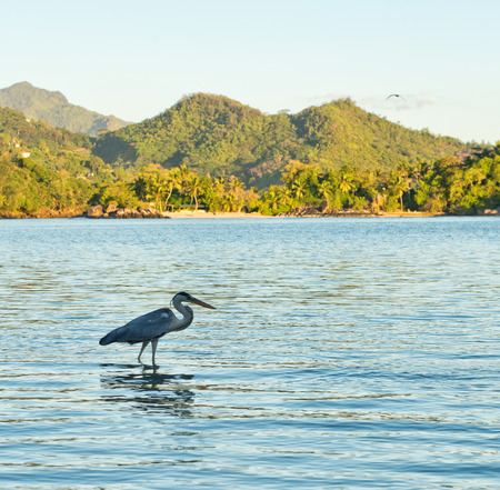 Side View of Grey Heron Wading in Water at Port Launay Marine Park, Seychelles photo