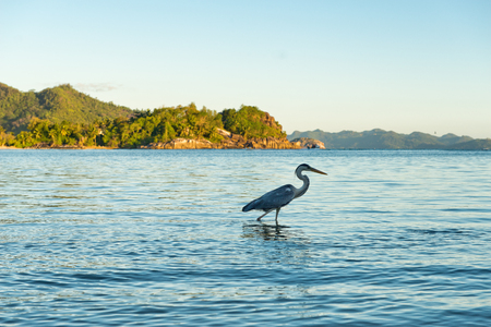 oceanic: Side View of Grey Heron Wading in Water at Port Launay Marine Park, Seychelles Stock Photo