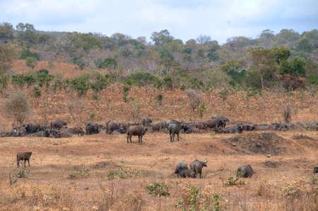 simbabwe: Buffalos in Simbabwe, Afrika