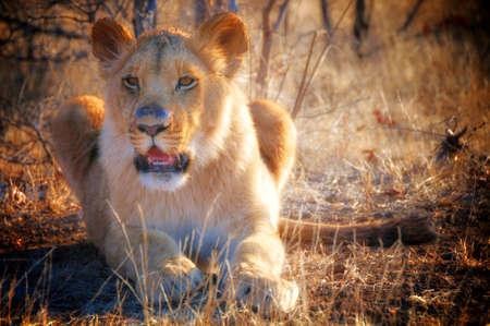 zimbabwe: León que miente en hierba en Zimbabwe, África