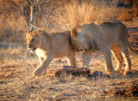 zimbabwe: Leones caminando en Zimbabwe, África