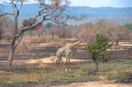 zimbabwe: Jirafa en Zimbabwe, África Foto de archivo