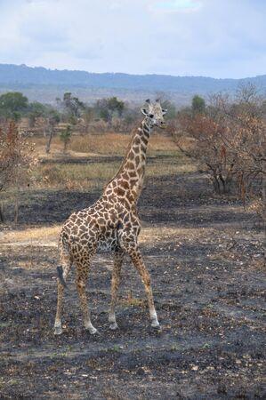 simbabwe: Giraffe in Simbabwe, Afrika Lizenzfreie Bilder