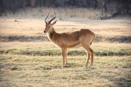 springbok: Springbok in the field
