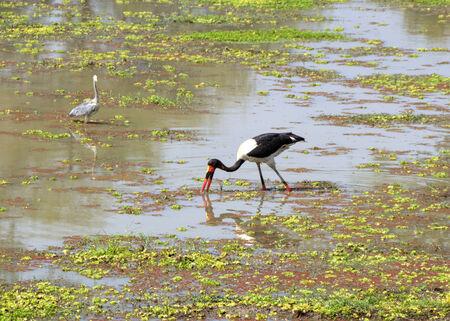 standing water: Birds standing in water Stock Photo