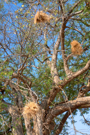 south african birds: Birds nests in the tree Stock Photo