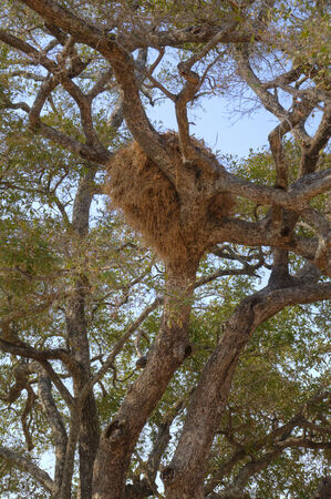 south african birds: Birds nest in the tree