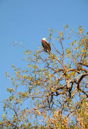 piheno: Eagle pihen a fa