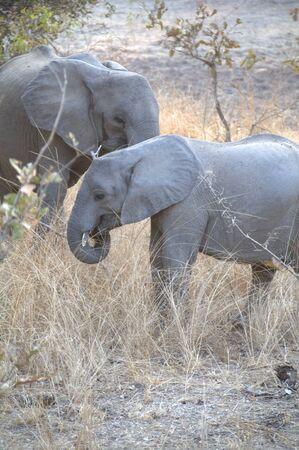botswana: Elephants in Chobe National Park, Botswana, Africa