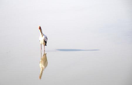 south african birds: Flamingo standing in water