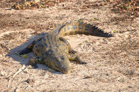 chobe national park: Crocodile in Chobe National Park, Botswana, Africa
