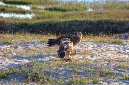 chobe national park: Two eagles with prey in Chobe National Park, Botswana, Africa Stock Photo
