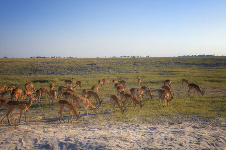 chobe national park: Puku antelopes in Chobe National Park, Botswana, Africa Stock Photo