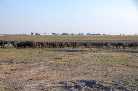 botswana: Buffalos walking in Chobe National Park, Botswana, Africa Stock Photo