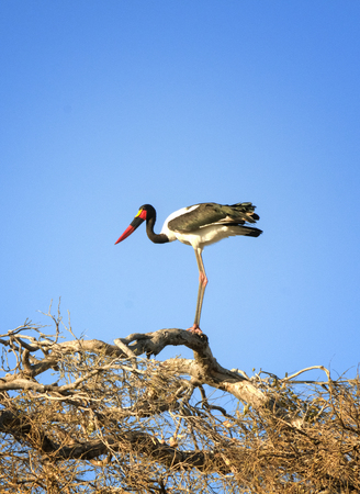 Stork perching on tree branches in Chobe National Park, Botswana, Africa photo