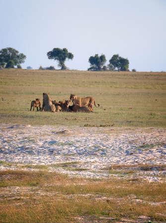 chobe national park: Lions hunting in Chobe National Park, Botswana, Africa