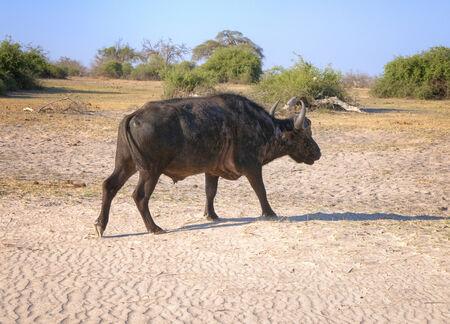 chobe national park: Buffalo walking in Chobe National Park, Botswana, Africa