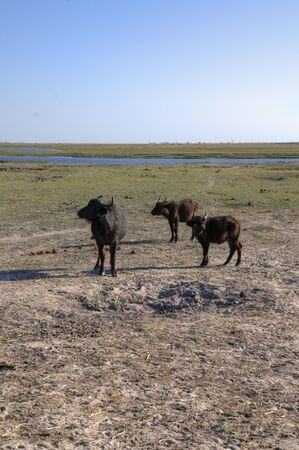 chobe: Buffalos walking in Chobe National Park, Botswana, Africa Stock Photo