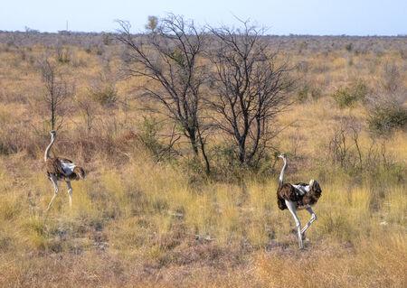 chobe national park: Ostriches in Chobe National Park, Botswana, Africa