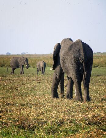 national park: Elephants in Chobe National Park, Botswana, Africa