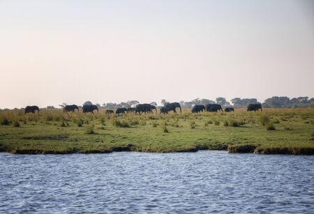 chobe national park: Elephants in Chobe National Park, Botswana, Africa
