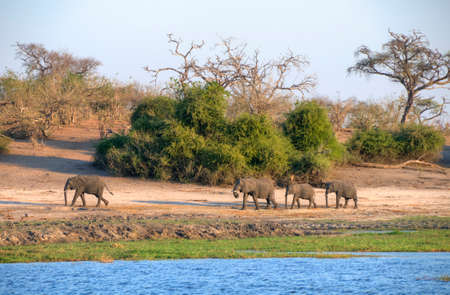 chobe national park: Elephants in Chobe National Park, Botswana, Africa