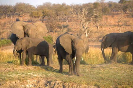 chobe: Elephants in Chobe National Park, Botswana, Africa