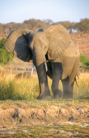 chobe national park: Elephant in Chobe National Park, Botswana, Africa