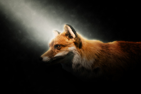 darkness: Close up of the head of an alert adult wily red fox lit by a beam of light shining obliquely from the upper left corner through the darkness