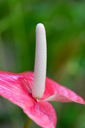 spadix: Close up Attractive Anthurium Flower with White Spadix and Pink Spathe