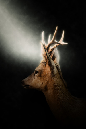 oblique: Close Up Side Profile View of Buck Male Deer with Small Antlers Illuminated in Bright Spotlight on Dark Background Stock Photo