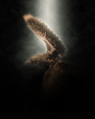 golden eagle: Golden Eagle Flying with Extended Wings Under Bright Spotlight with Dark Background Stock Photo