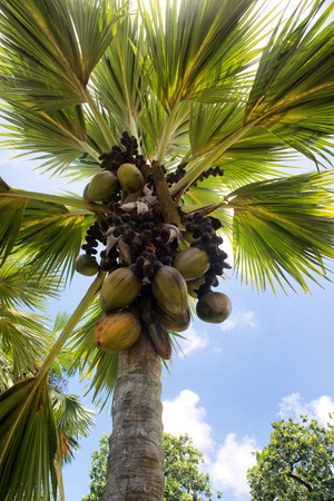 coco palm: Crop of Coco de Mer coconuts, or sea coconuts, growing on a palm tree in the botanical gardens in Victoria, Mahe, Seychelles