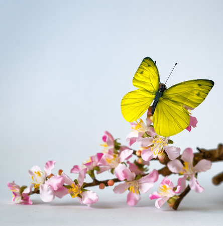 emphasizing: Light Colored Butterfly on Lovely Cymbidium Orchid Flowers on a Stem, Emphasizing Copy Space. Isolated on a White Background.