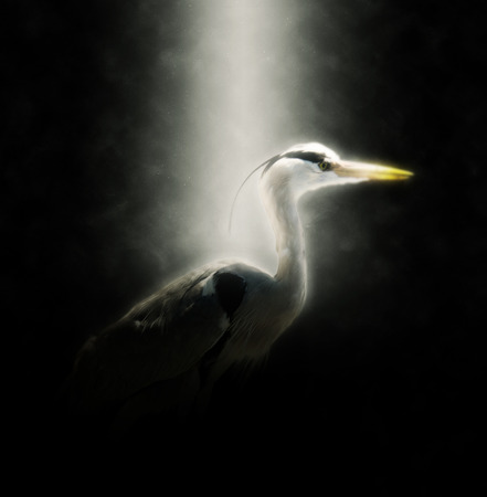 dramatically: Side Profile of Heron Dramatically Illuminated in Spotlight with Dark Black Background