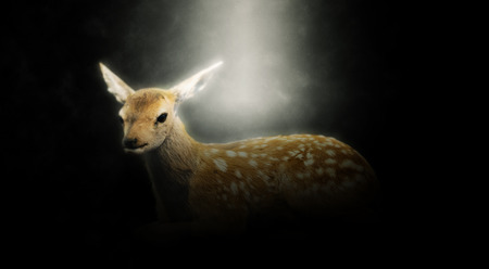 fawn: Panoramic of Baby Deer Fawn Illuminated in Spotlight on Dark Background