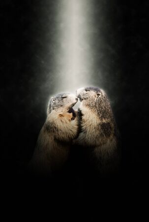 hibernate: Two Marmots in Love Nuzzling Together Illuminated by Bright Spotlight on Dark Background