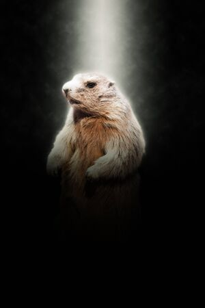 hibernate: Close Up of Marmot Standing on Hind Legs Illuminated in Bright Spotlight on Dark Background