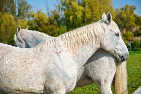 grey horses: Pair of grey horses standing nose to tail in a a lush green field, close up view of the head and flank of one horse Stock Photo