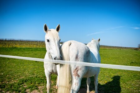 grey horses: Two grey horses in a sunny paddock standing head to tail close to the rail in the hot spring sunshine with one looking at the camera