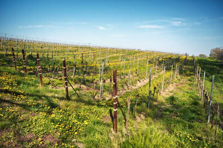 wine industry: Rows of trellised vines in springtime in a rural landscape on a winery in Bissersheim, Germany conceptual of the wine industry, wine making and agriculture Stock Photo
