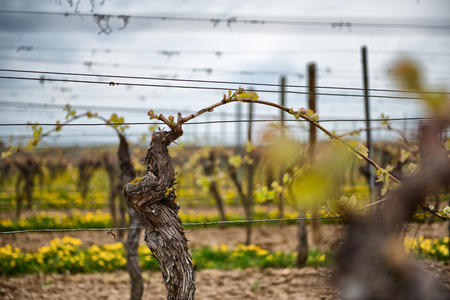 wine road: Cultivating vines for grapes for viticulture with a close up view of new leaves shooting on a trellised vine in a vineyard at the start of the spring season