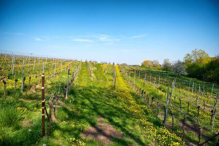 hilera: Filas de vides en espaldera cultivadas en un viñedo en una bodega en la ruta del vino de Bissersheim, Alemania, vista horizontal