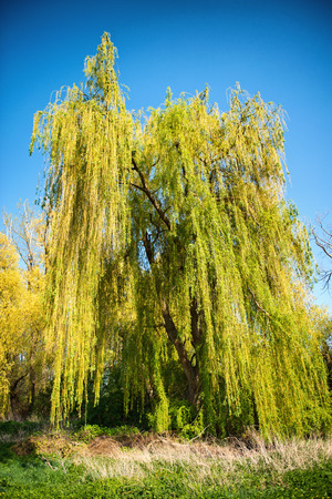 willows: Weeping willow tree with fresh yellow-green spring foliage on its drooping branches against a clear sunny blue sky Stock Photo