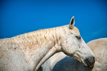 dappled: Head profile of a dappled grey horse standing alongside the flank of a second horse, low angle against a sunny blue sky