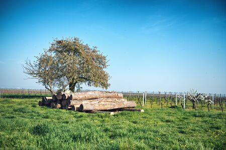 felled: Stockpile of felled logs or tree trunks in a vineyard on a rural winery stacked neatly under a tree waiting for collection by a logging truck