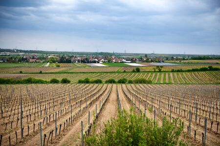 wine road: Overview of Rows of Young Grape Vines Growing in Winery Fields Outside of Small Town Dirmstein Germany Stock Photo