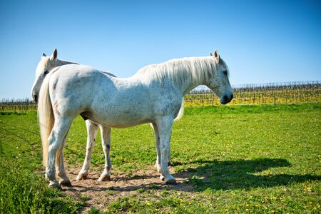 grey horses: Two pretty grey horses, one a stallion, standing in a sunny paddock with fresh green spring grass in a rural landscape Stock Photo