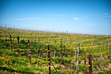 oenology: Springtime in a vineyard pn a winery in Bissersheim, Germany with rows of neatly trellised vines with colorful yellow dandelions between the rows