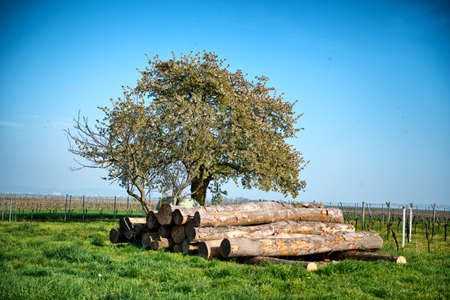 neatly stacked: Felled tree trunks in a vineyard stacked neatly under a tree waiting for collection by a logging truck. conceptual of the forestry, lumber, energy and agriculture industries